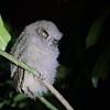 Ferruginous Pygmy-Owl