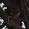 Ferruginous Pygmy-Owl P1300260