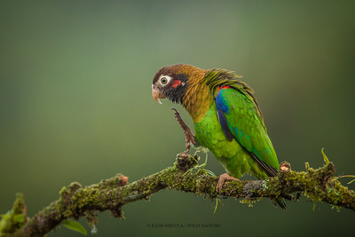 Brown-hooded Parrot (Pionopsitta haematotis)