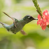 Hummingbird from Left