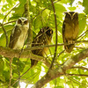 Crested Owl Family
