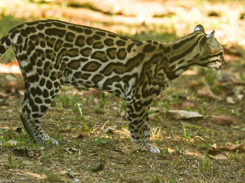 Wild Ocelot roaming the grounds of Finca La Tarde.