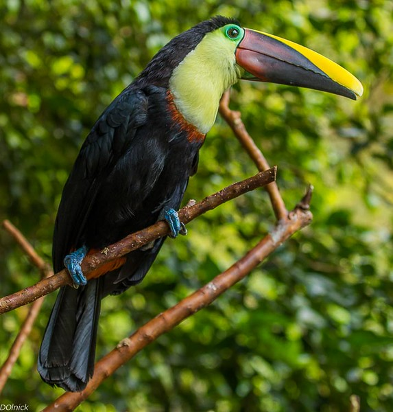 Many Toucans in Costa Rica.