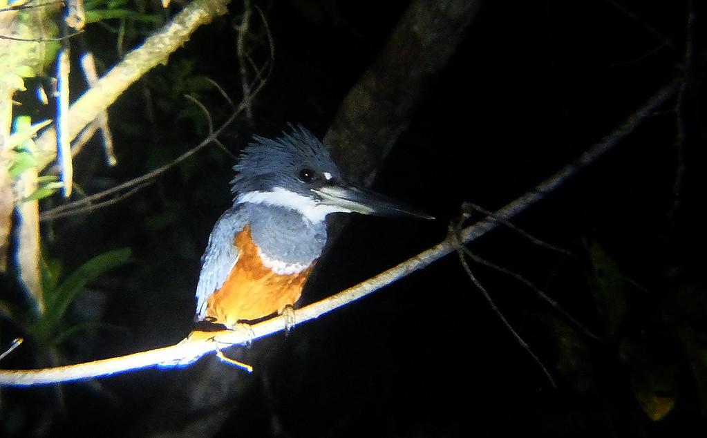 ring bill kingfisher