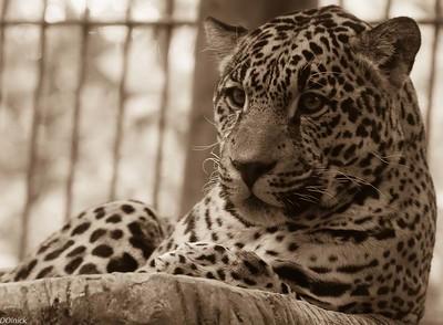 Jaguar at La Paz Waterfall Large Cat Exibit Outside of San Jose.