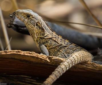 Young Iguana.
