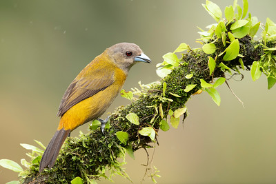 Passerini's Tanager-female Laguna del Lagarto Lodge  Costa Rica.  Lowlands of the Caribbean