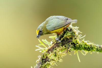 Olive-backed Euphonia Laguna del Lagarto Lodge  Costa Rica.  Lowlands of the Caribbean