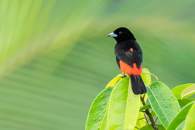 Passerini's Tanager Laguna del Lagarto Lodge  Costa Rica.  Lowlands of the Caribbean