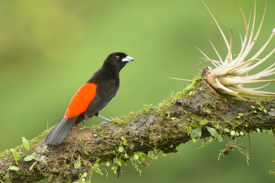 Passserini's Tanager Laguna del Lagarto Lodge  Costa Rica.  Lowlands of the Caribbean