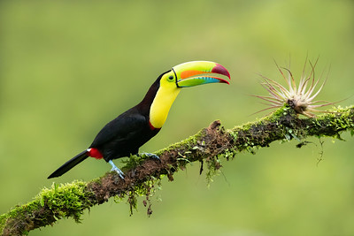 Keel-billed Toucan Laguna del Lagarto Lodge  Costa Rica.  Lowlands of the Caribbean