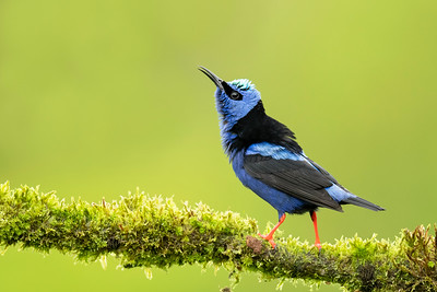 Red-legged Honeycreeper Laguna del Lagarto Lodge  Costa Rica.  Lowlands of the Caribbean
