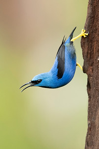 Shining Honeycreeper Laguna del Lagarto Lodge  Costa Rica.  Lowlands of the Caribbean