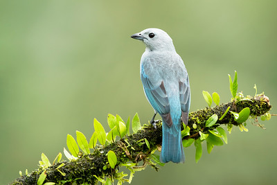 Gray-Blue Tanager Laguna del Lagarto Lodge  Costa Rica.  Lowlands of the Caribbean