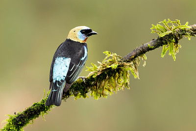 Golden-hooded Tanager Laguna del Lagarto Lodge  Costa Rica.  Lowlands of the Caribbean