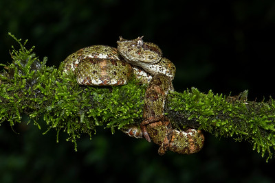 Brown Eyelash Viper Laguna del Lagarto Lodge  Costa Rica.  Lowlands of the Caribbean