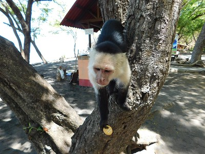 Dona Ana beach in Puntarenas. Wild capuchin monkeys come down out of the trees for handouts from visitors. We fed them bananas and vanilla cookies.