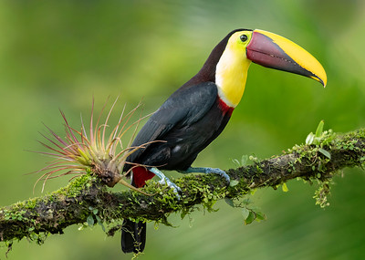 Yellow-throated Toucan Laguna del Lagarto Lodge  Costa Rica.  Lowlands of the Caribbean