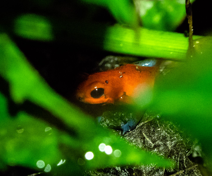 Strawberry Poison-dart Frog (this frog is 0.7 inches long)