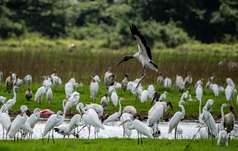 Wood Stork landing with Great Egrets,  Roseate Spoonbills
