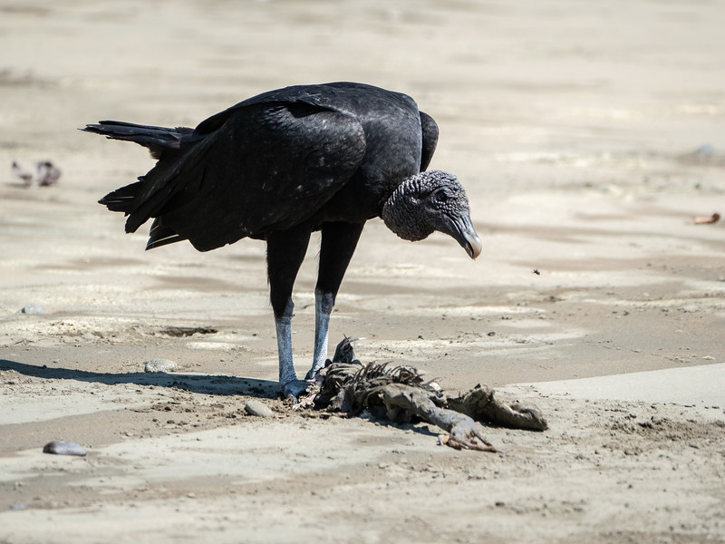 Black Vulture and lunch