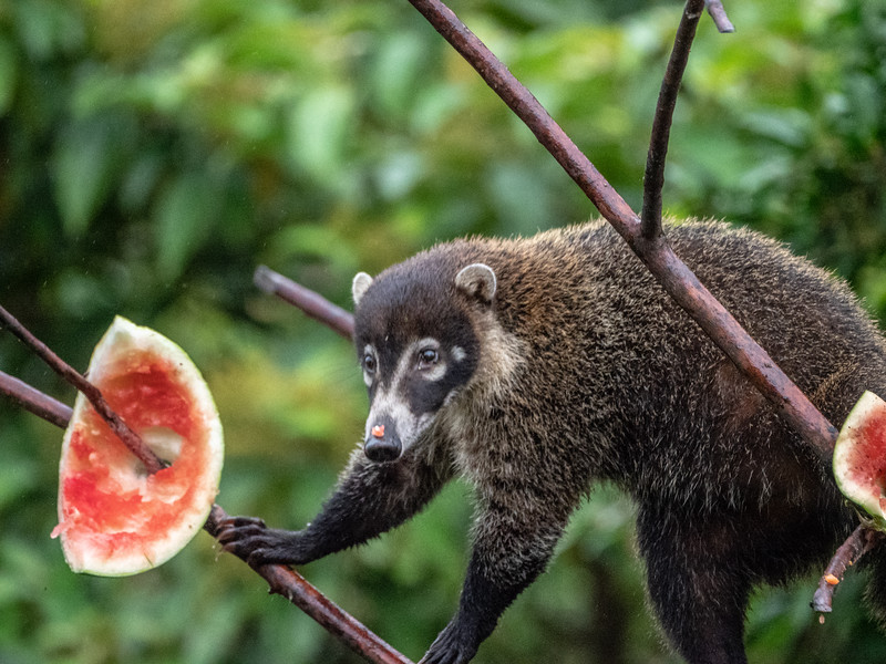 White-nosed (and watermelon nosed) Coati