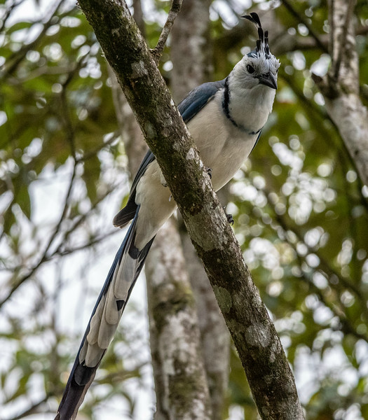 White-throated Magpiejay