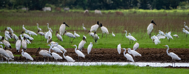 Great Egrets, Wood Storks, Jabiru Storks and Cattle Egrets