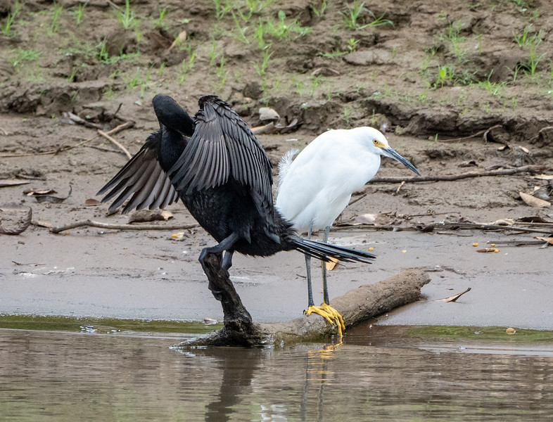Anhinga and Snowy Egret