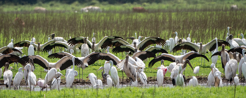 Wood Storks cooling off