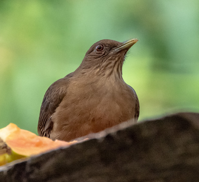 Clay-colored Robin