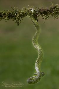 Striped Palm Pit Viper