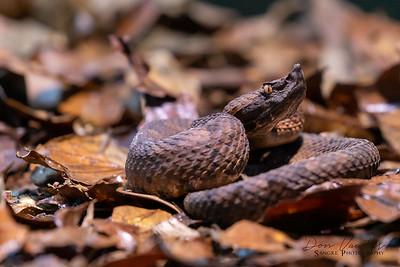 Hog nosed pit viper