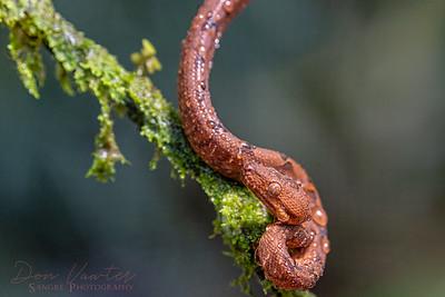 Anulated Tree Boa