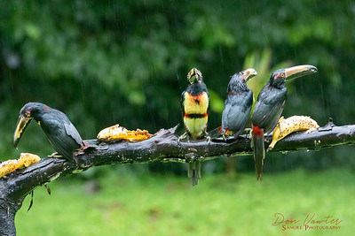 Collared Aracari in rain