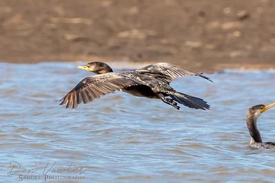 Tropical Cormorant