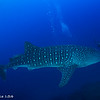 Whale shark - Coco's Islands by Tracey Jennings
