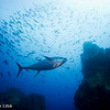 Yellow fin tuna - Coco's Islands by Tracey Jennings