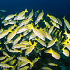 Blue and Gold snapper - Cocos Islands by Tracey Jennings