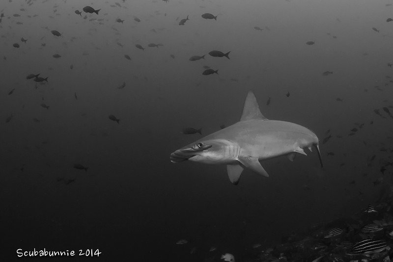 Scalloped hammerhead - Coco's Islands by Tracey Jennings