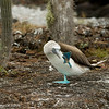Blue footed booby - Isabela Galapagos by Tracey Jennings