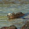 Marine iguana - Isabela - Galapagos by Tracey Jennings