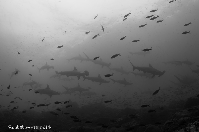 School of hammerheads - Galapagos by Tracey Jennings