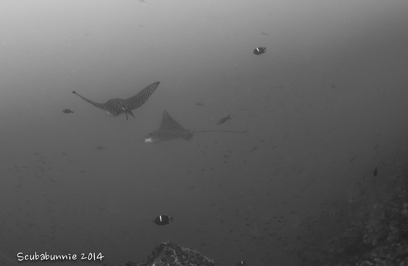 Eagle rays - Galapagos by Tracey Jennings