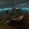 Galapagos seal lions - Galapagos by Tracey Jennings