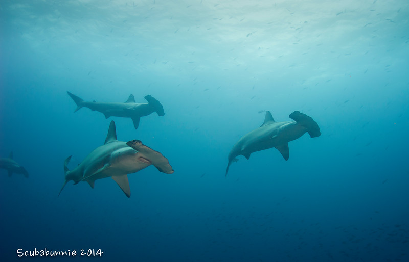 Scalloped hammerheads - Galapagos by Tracey Jennings
