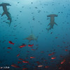 School of hammerheads with Diver - Galapagos by Tracey Jennings