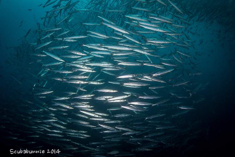 Barracuda School - Galapagos by Tracey Jennings