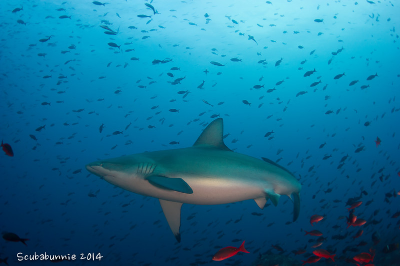 Galapagos shark - Galapagos by Tracey Jennings