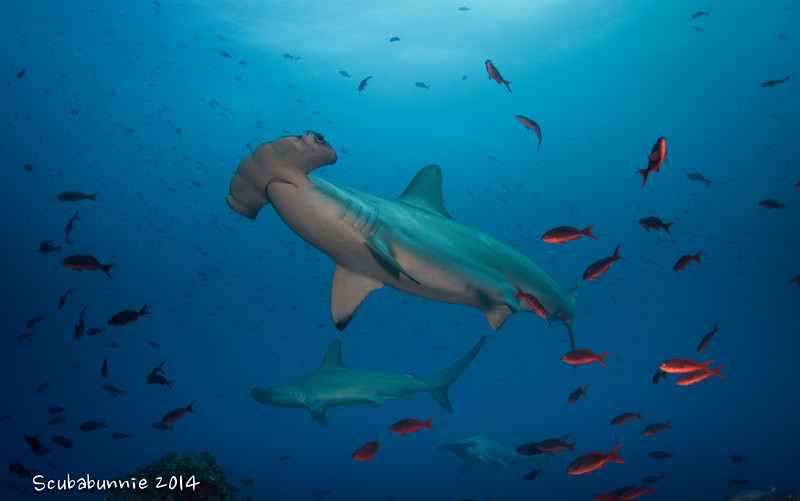 Hammerhead sharks - Galapagos by Tracey Jennings